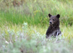 Look who popped up - grizzly bear cub looking around - 9949b+ (teagden) Tags: grizz grizzly grizzlybear grizzlycub grizzlybearcub jenniferhall jenhall jenhallphotography jenhallwildlifephotography wildlifephotography wildlife nature naturephotography photography nikon wild bear bearcub cub standing stand poppedup sage sagebrush coy cubofyear grizzlycoy