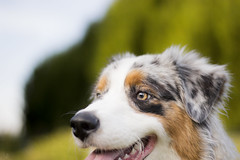 _MG_0444 (Amandine Prunier (Photographe)) Tags: blue summer dog canon photography 50mm eyes australian picture aussie merle sheperd