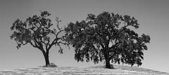 Trees II (Joe Josephs: 2,861,655 views - thank you) Tags: california trees blackandwhite landscapes pasorobles fineartphotography blackandwhitephotography californiacentralcoast californialandscape landscapephotography outdoorphotography fineartprints joejosephs joejosephsphotography