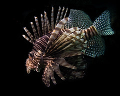 Lionfish (Longleaf.Photography) Tags: ocean sea swim aquarium nc stripes wildlife wilmington spines creature lionfish fins