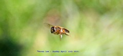 Just Passing Through...... (law_keven) Tags: hoverfly insect insects catford london england bugs garden