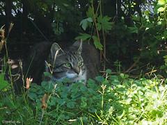 Summer shade - for Happy Caturday - Explored 23.07.2016, #354 (Finn Frode (DK)) Tags: cats garden shade bushes summer bastian mixedbreed domesticshorthair olympus omdem5 denmark animal pet cat outdoor happycaturday