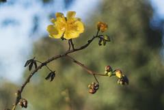 (andr3ms) Tags: flower flora nature natureza naturaleza macro bokeh profundidade 50mm nikon nikonflickraward yellow brasil brazil pantanal