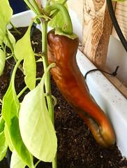 Bull's Horn Pepper (Assaf Shtilman) Tags: bulls horn pepper red plant