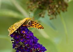 kleiner Perlmutterfalter (4) (blacky_hs) Tags: kleiner perlmutterfalter schmetterling butterfly edelfalter blume flieder flower