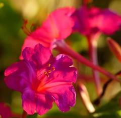 Evening light in Sicily (sunset1uk) Tags: flowers italy flower sicily geranium ragusa autofocus