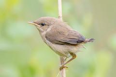 Juvenile Reed Warbler (Explored 1/8) (Linda Martin Photography) Tags: birds blashfordlakes wildlife nature baby hampshire chick acrocephalusscirpaceus uk reedwarbler ngc npc coth coth5
