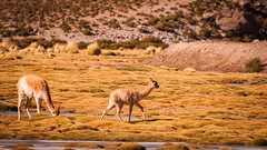 baby llama (ckocur) Tags: chile atacama sanpedrodeatacama northernchile atacamadesert