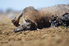 Roadkill Kangaroo (Ben den Hartog) Tags: roadkill kangaroo barcaldine queensland australia outback roo