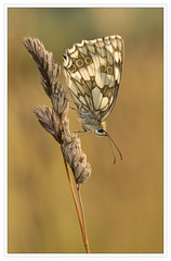 Marbled White On Grass (alone68) Tags: nature canon butterfly wildlife kwt marbledwhite