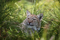 Lazy Summer days II (nemi1968) Tags: 1yearold canon canon5dmarkiii ef100400mmf4556lisiiusm eurasianlynx gaupe july langedrag lynx markiii animal beautiful cat catfamily closeup eyes gaze grass portrait shadows summer tufs whiskers specanimal