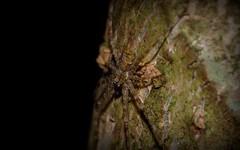 Tamopsis brisbanensis (dustaway) Tags: arthropoda arachnida araneae araneomorphae hersiliidae tamopsisbrisbanensis longspinneretbarkspider spideronbark australianspiders rainforest rotarypark lismore northernrivers nsw australia nature rprr