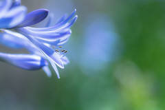 undivided affection (hitohira_) Tags: flowers flower nature bokeh