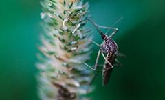 50D 2016-07-23 129 (linebrell) Tags: macro closeup insect evening bokeh wildlife tokina 100mm