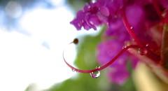 pistil flare... (Kaos2) Tags: pink summer flower macro one waterdrop bokeh pistil refraction crepemyrtle