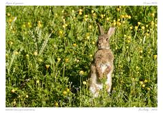 Lapin | rabbit (BerColly) Tags: france rabbit green nature mammal google flickr vert lapin auvergne puydedome mammifere bercolly