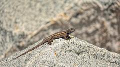 A Rock Star (vgphotoz) Tags: arizona nature rock stone pyramid rockstar hard lizard vgphotoz