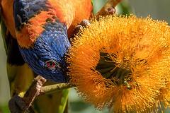Red-collared Lorikeet (Rainbow Lori) (BlueberryAsh) Tags: bird lorikeet parrot rainbowlorikeet nitmiluk katherinegorge australianbird redcollaredlorikeet northernterritroy tamron150600 nikond750