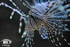 Lionfish (OP_Photography) Tags: fish dslr nikon lionfish opphotography