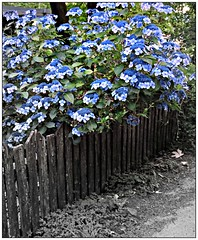 (CanMan90) Tags: fence friday wooden pickets bw flowers colours selective colour canon rebelt3i campsite cedar britishcolumbia vancouverisland blue