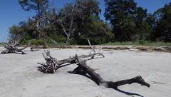 The Main Attraction, Jekyll Island, GA - IMGP4635 (catchesthelight) Tags: driftwoodbeach georgiasmostcompellingbeaches jekyllislandga barrierisland oneofthemostinterestingshorelines whitesand oaktrees driftwood gnarly naturalgraveyard preservation beauty light shadow texture