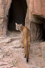 Looking Back (marzipan bunny) Tags: arizona cats animals zoo tucson desertmuseum july cruz 17 puma cougar mountainlion arizonasonoradesertmuseum asdm 2016 zoophotography