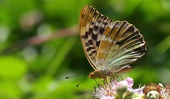 Silver Washed Fritillary (Valezina Form) 220716 (4) (Richard Collier - Wildlife and Travel Photography) Tags: naturalhistory wildlife insects butterflies macro closeup silverwashedfritillary valezina ngc npc