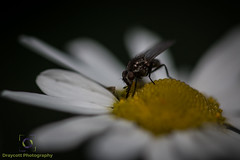Wild daisy andfly close.jpg (Draycott Photography) Tags: staffordshire draycottphotography canon canon70d 70d draycottintheclay draycott macro macrophotography macrolens flower flowers colour color colourful nature naturebest garden gardenflowers