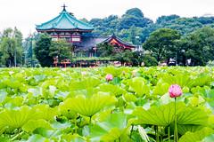 Shinobazunoike (shinichiro*) Tags: 20160709sdq0123 2016 crazyshin sigmasdquattro sdq sigma1770mmf284dcmacrohsm july summer   lotus flower macro rain rainyday