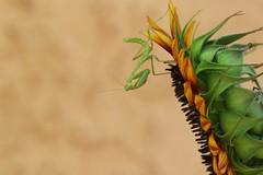 garden resident. (gatos pobres) Tags: canon canon7dmarkii canon100mm28 macro prayingmantis mantid garden albuquerque lifeinthedesert organic sunflower newmexico 2016 insect iloveinsects