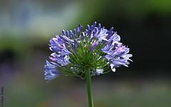 Bokeh blooms (Allan Jones Photographer) Tags: flower blooms blueflowers purpleflowers bokeh bokehlicious beautiful allanjonesphotographer canon5d3 canonef70200mmf28lisusm unidentifiedplant agapanthus