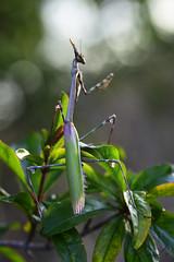 ... Making new friends ... (Device66) Tags: macro empussa pennata mantidae mantis giant green nikon macrophotography nature wild device