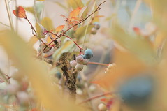Blue is the Colour (lewist584) Tags: sony sonynex5r cosinon50mmf17 50mm m42mount manualfocus emount adaptor gimp gmic polaroid669 lewist584 lieler luxembourg blueberry berries fruit