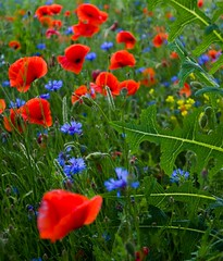 Red and blue 8 (Hejma (+/- 4500 faves and 1,5milion views)) Tags: uplandmiechowska polish poppies cornflowers buds flowers red blue green
