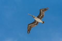 Pelican in flight. (jcldigitalstudio.com) Tags: pelecanus occidentalis californicus beach ocean california blue sky clear nature animal bird flight coastal coast pacific