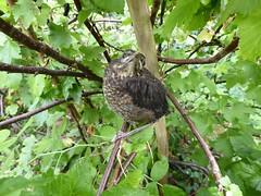 Fledgling  blackbird (Granpic) Tags: blackbird fledgling fledglingblackbird turdusmerula gardenbird