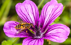 Happy fuzzy flowery fly Friday (Steve-h) Tags: nature natur natura naturaleza insect geranium hoverfly macro black gold stripes purple petals veins white fuzz hairs green leaves depthoffield dof summer august 2016 dublin ireland europe eu ef eos canon camera lens steveh