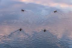 Cua cua cuaaaaaa (Carhove) Tags: water agua patos aves estelas animals animales ondas nature naturaleza seascape