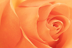 """High Sheriff"" Rose (Sandyp.com) Tags: rose orangerose macro flower topazsoftware sonyalpha sonya7rii"