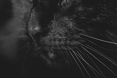 Cat snout (WillemijnB) Tags: blitz cat chat kat katze feline bw snout neus snuit museau dier huisdier katachtige zwartwit