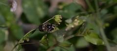 Food For Flight (harefoot1066) Tags: nyctaginaceae boerhavia spiderling boerhaviaerecta erectspiderling diptera aschiza syrphidae eristalinae volucellini copestylum copestylummarginatumgroup syrphidfly
