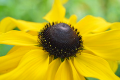rudbeckia (chris p-w) Tags: flowers rudbeckia yellow sunshine garden petals annual