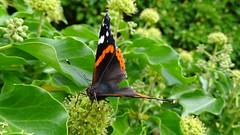 im grünen (beate krems) Tags: flügel schmetterling butterfly grün garten fühler nektar insekt