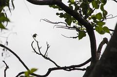 olive-backed sunbird (arcibald) Tags: nectariniajugularis olivebackedsunbird sunbird bird birds aves pililla rizal sembrano philippines