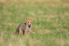 Sous le soleil des soires de juillet (inutshuk (Benjamin)) Tags: canidae canids carnivora carnivores mammalia mammals mammifres redfox renardroux vulpesvulpes