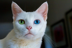 Jasmine (suzeesusie) Tags: cat kitty katze gato pet animal rescued adopted white furry cute portrait pretty oddeyed