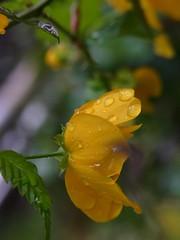 Wet wet wet (nofrills) Tags: flower green nature water rain yellow flora waterdrop urbannature raindrops ヤマブキ waterfrops