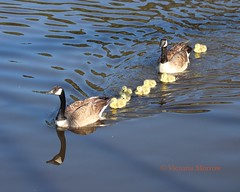 The first goslings of spring (Victoria Morrow) Tags: droh dailyrayofhope