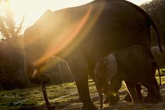Safari Park 2015 (Cupio86) Tags: sun elephant grass sunsets westmidlands sunflare babyelephant westmidlandssafaripark