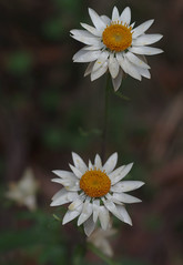 Xerochrysum?, Barrington Tops National Park, NSW, 07/02/15 (Russell Cumming) Tags: plant newsouthwales asteraceae muswellbrook xerochrysum barringtontopsnationalpark